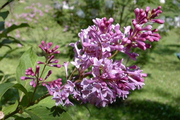 Photo lilas de Preston 'Royalty' source : Pépinière Brown